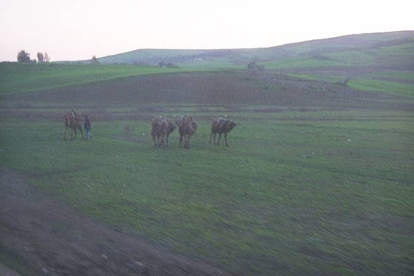 camels from the train